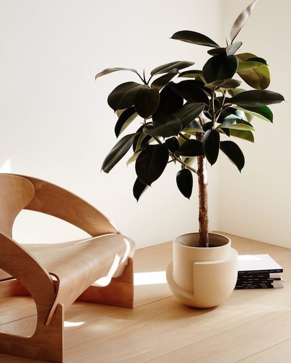 How-to-choose-houseplants-rubber-plant