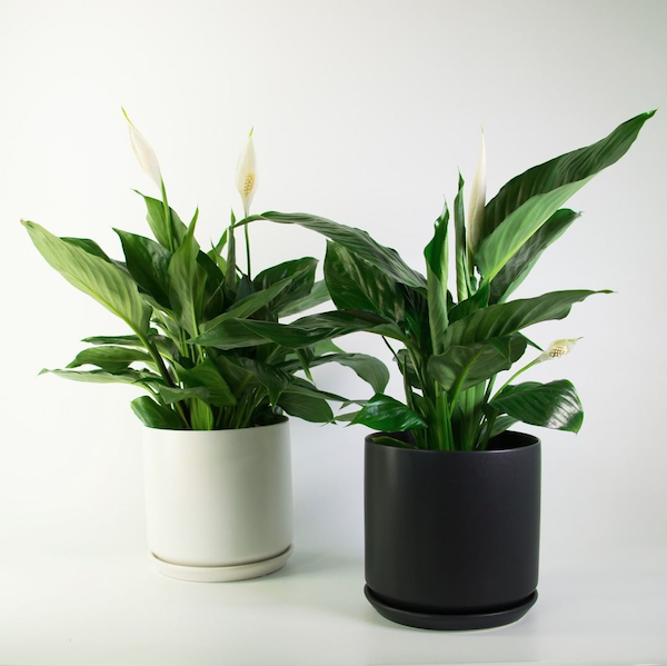 How-to-choose-houseplants-peace-lily